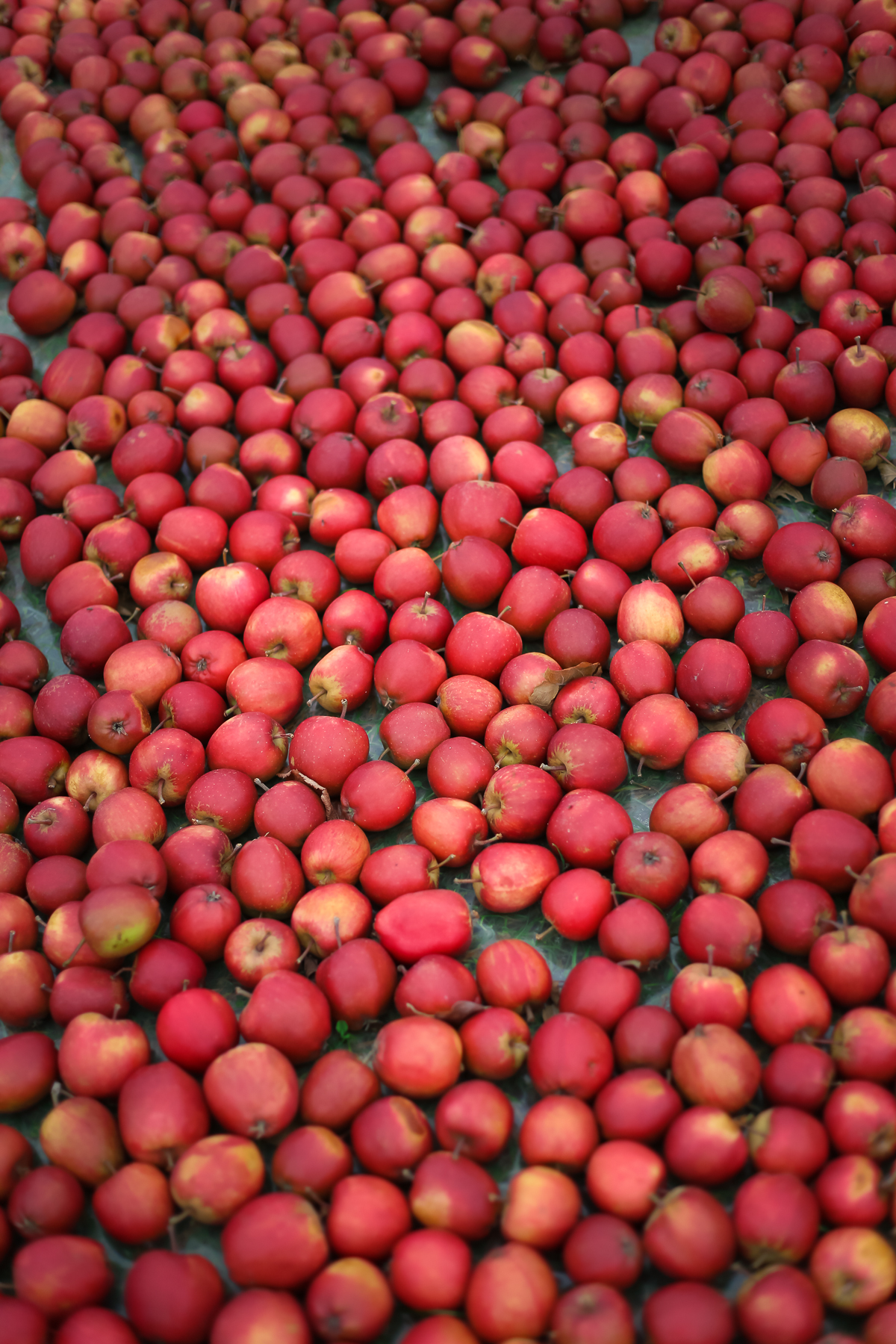 A day trip from Copenhagen  to pick some of Denmark's best apples and pears at the Frydenlunds Frugtplantage outside of Vedbaek.