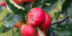 Out + About: Apple Picking at the Frydenlunds Frugtplantage